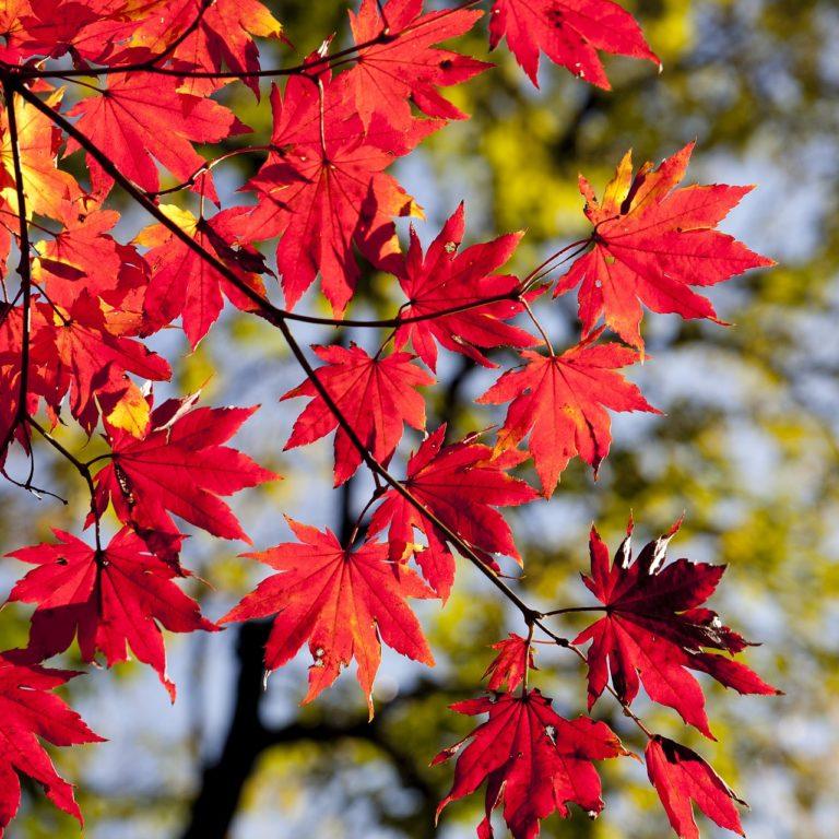 Liście z drzewa sąsiada - kto ma zbierać?
