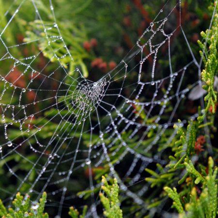 Żywopłot z żywotników (tui): wybór odmian, sadzenie