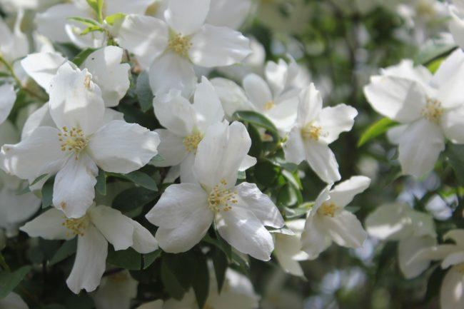 Jaśminowiec w ogrodzie - jak pielęgnować?