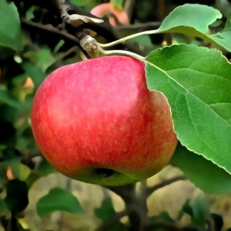 Uprawa owoców metodami ekologicznymi